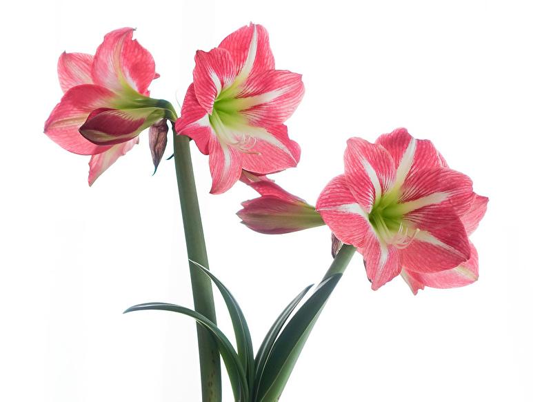 ◆アマリリスが咲きました!